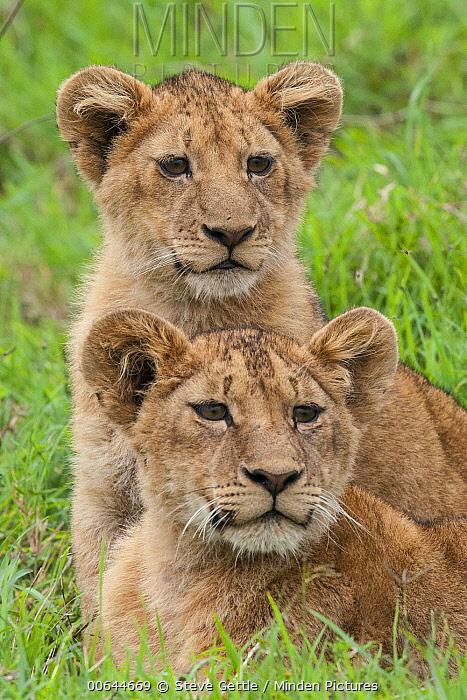 African Lion (Panthera leo) cubs, Ngorongoro Crater, Ngorongoro Conservation Area, Tanzania