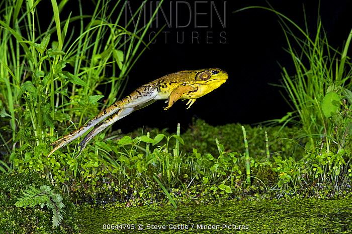 American Bullfrog (Rana catesbeiana) jumping at night, Huron Meadows Metropark, Michigan