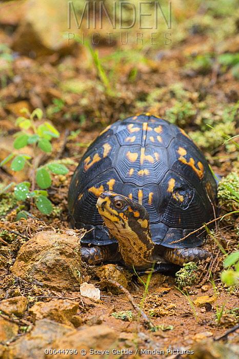 Eastern Box Turtle (Terrapene carolina), Huron Meadows Metropark, Michigan