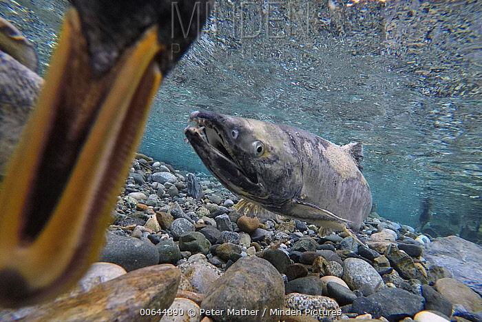 Chum Salmon (Oncorhynchus keta) protecting redds in small stream with duck feeding on eggs, Haines, Alaska