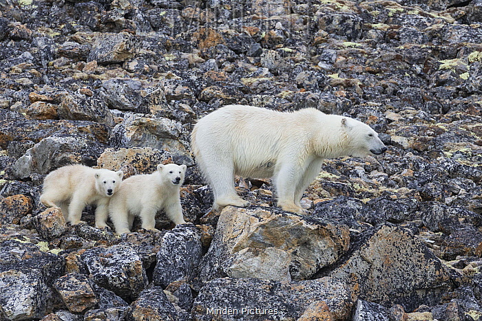 Polar Bear (Ursus maritimus) mother and six-month-old cubs, Svalbard, Norway