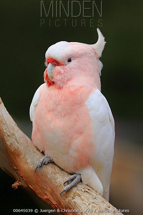 Major Mitchell's Cockatoo (Lophochroa leadbeateri), New South Wales, Australia
