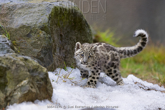 Snow Leopard (Panthera uncia) three-month-old cub, captive, California