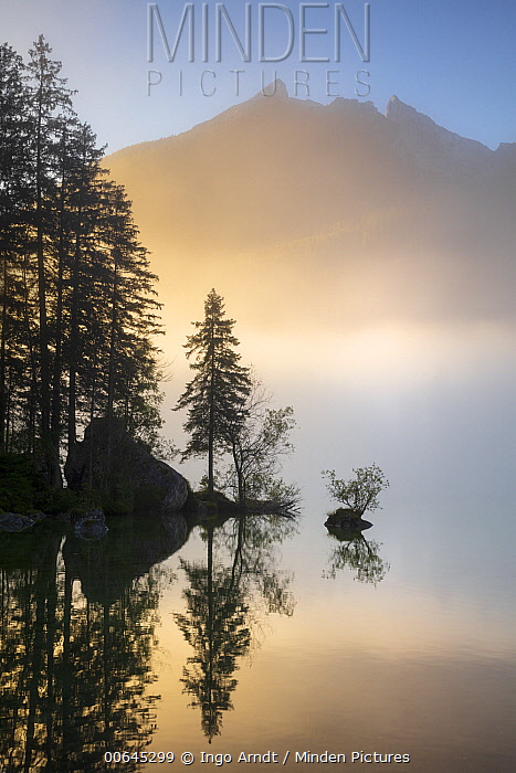 Conifers on lakeshore at sunrise, Hintersee, Berchtesgaden, Germany
