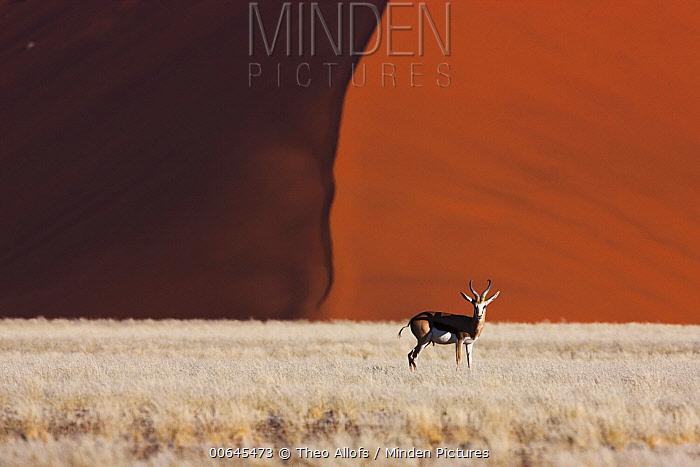 Springbok (Antidorcas marsupialis) and sand dune, Namib-Naukluft National Park, Namibia