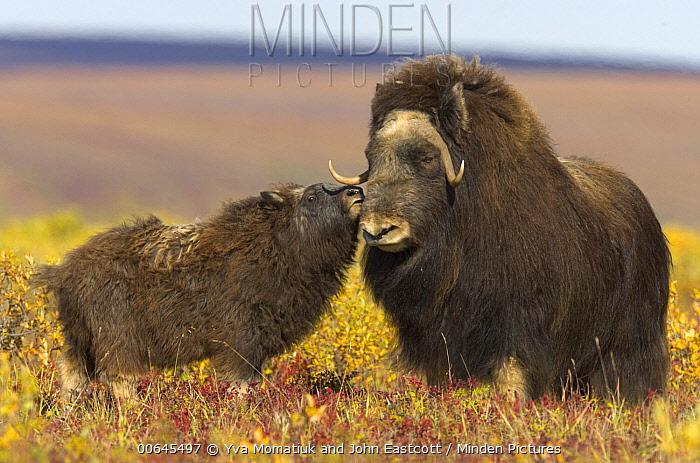 Muskox (Ovibos moschatus) calf nuzzling mother, North Slope, Alaska