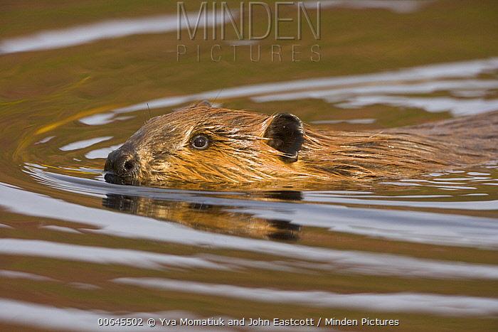 American Beaver (Castor canadensis) sub-adult, Denali National Park, Alaska