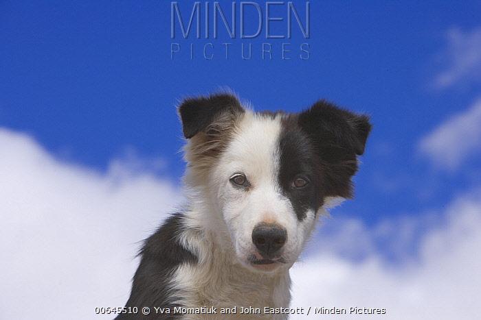 Border Collie (Canis familiaris) puppy, Utah