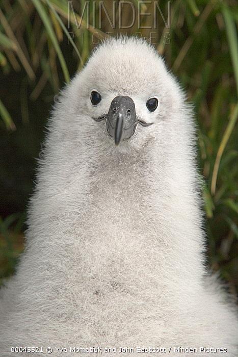 Grey-headed Albatross (Thalassarche chrysostoma) chick, Elsehul, South Georgia Island