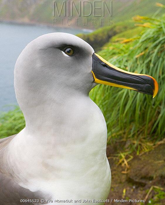 Grey-headed Albatross (Thalassarche chrysostoma), Elsehul, South Georgia Island