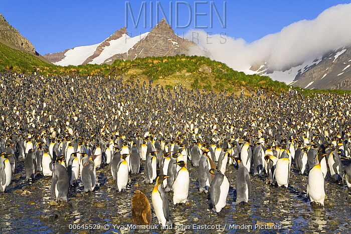 King Penguin (Aptenodytes patagonicus) rookery, Right Whale Bay, South Georgia Island