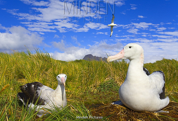 Wandering Albatross (Diomedea exulans) pair at nest, Prion Island, South Georgia Island