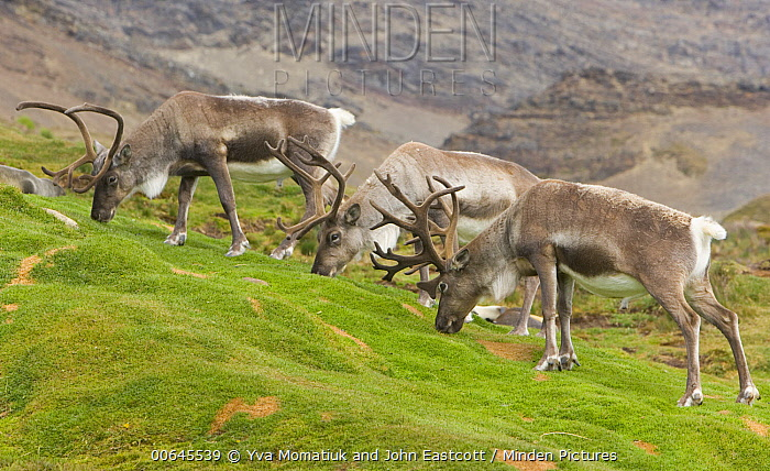 Caribou (Rangifer tarandus) bulls grazing, Husvik, South Georgia Island