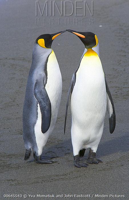 King Penguin (Aptenodytes patagonicus) pair billing, St. Andrew's Bay, South Georgia Island