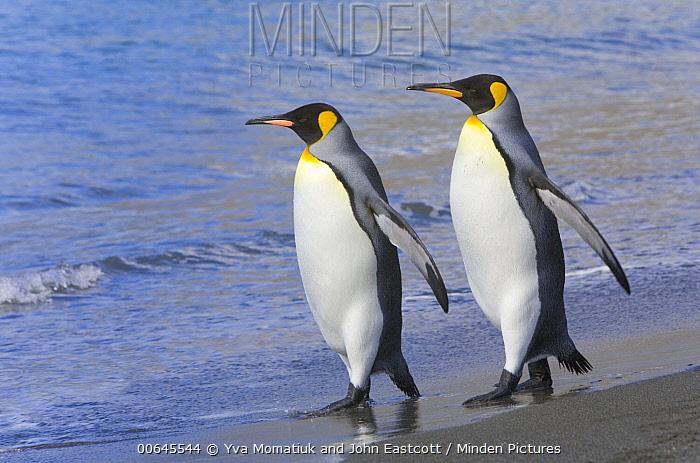 King Penguin (Aptenodytes patagonicus) pair on beach, St. Andrew's Bay, South Georgia Island