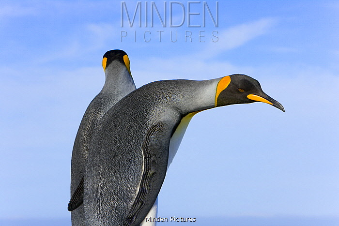 King Penguin (Aptenodytes patagonicus) pair, St. Andrew's Bay, South Georgia Island