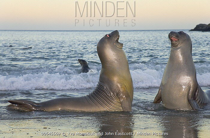 Southern Elephant Seal (Mirounga leonina) male juveniles play-fighting, Cooper Bay, South Georgia Island