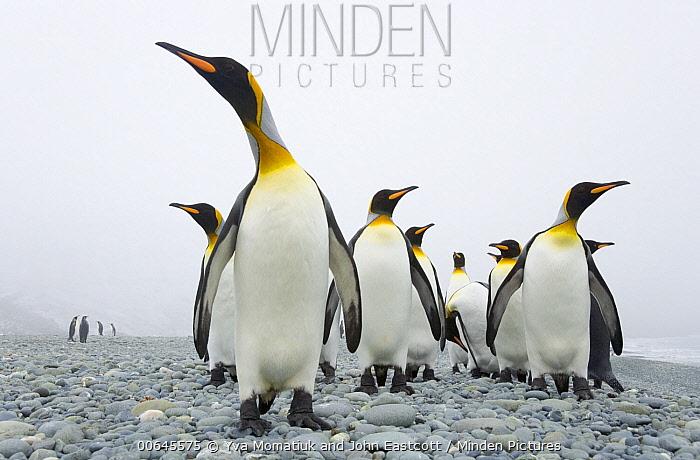 King Penguin (Aptenodytes patagonicus) group in fog on beach, Trollhul, South Georgia Island