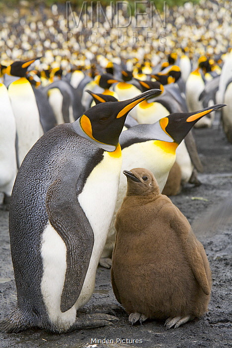 King Penguin (Aptenodytes patagonicus) parent and chick in rookery, Right Whale Bay, South Georgia Island