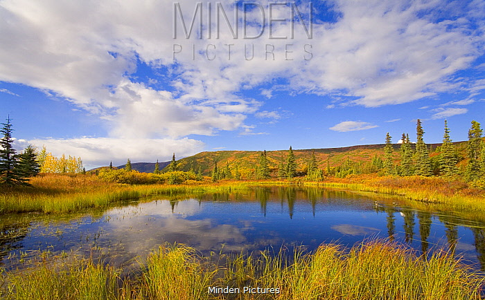 Cumulus clouds reflected in tundra pond, Denali National Park, Alaska