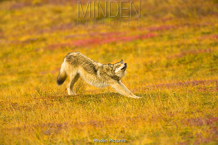 Gray Wolf (Canis lupus) stretching, Denali National Park, Alaska