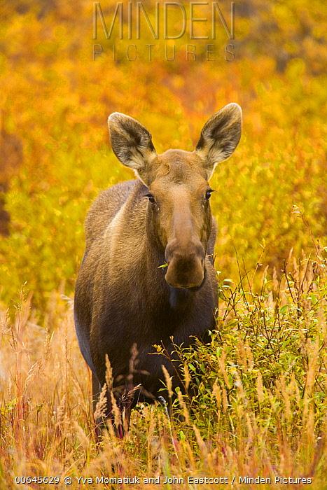 Alaska Moose (Alces alces gigas) female in tundra, Denali National Park, Alaska