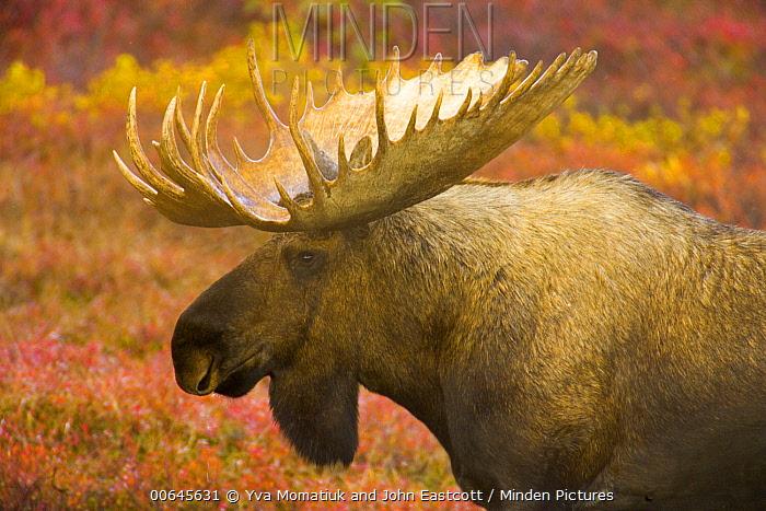 Alaska Moose (Alces alces gigas) bull, Denali National Park, Alaska