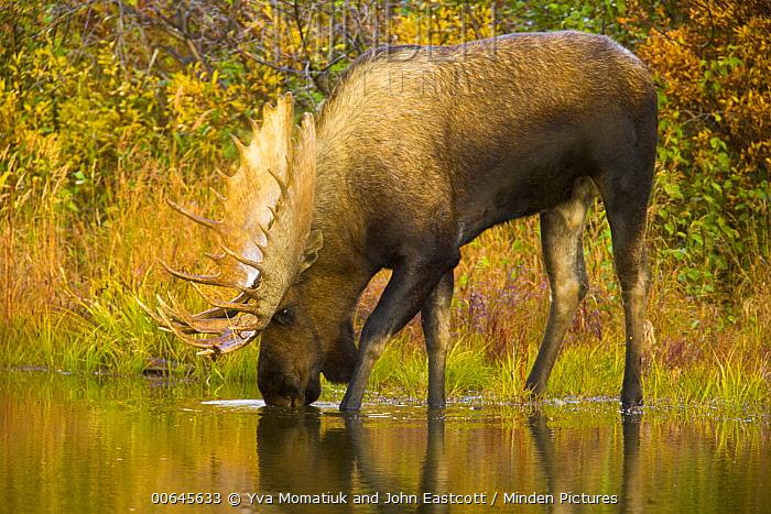 Alaska Moose (Alces alces gigas) bull drinking, Denali National Park, Alaska