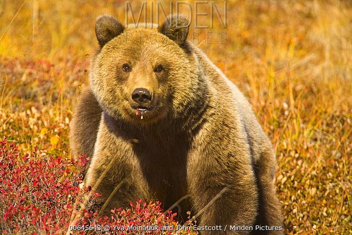 Grizzly Bear (Ursus arctos horribilis) yearling cub, Denali National Park, Alaska