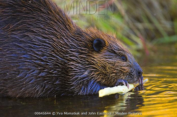 American Beaver (Castor canadensis) feeding on bark, Denali National Park, Alaska