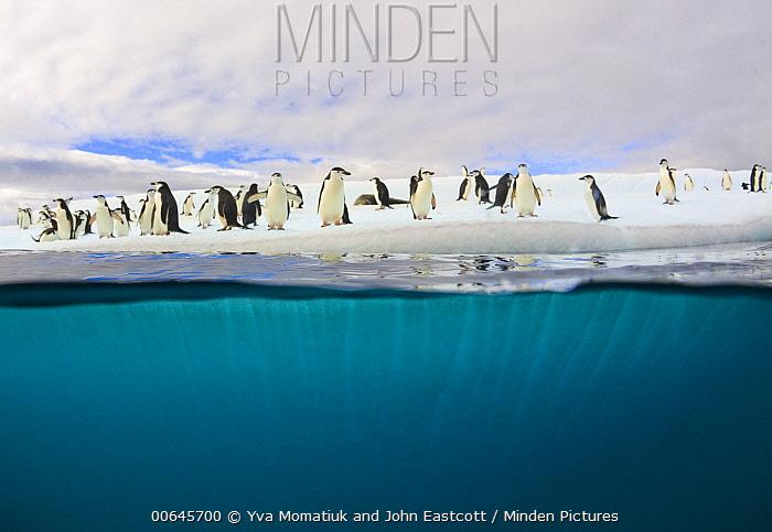 Chinstrap Penguin (Pygoscelis antarctica) group and Leopard Seal (Hydrurga leptonyx) on iceberg, South Shetland Islands, Antarctica