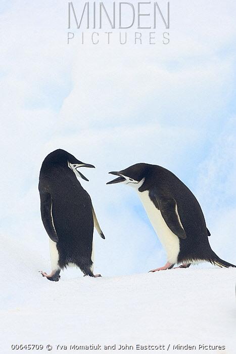 Chinstrap Penguin (Pygoscelis antarctica) pair fighting, Gerlache Passage, Antarctic Peninsula, Antarctica