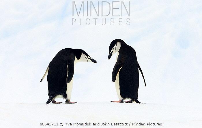 Chinstrap Penguin (Pygoscelis antarctica) pair, Gerlache Passage, Antarctic Peninsula, Antarctica