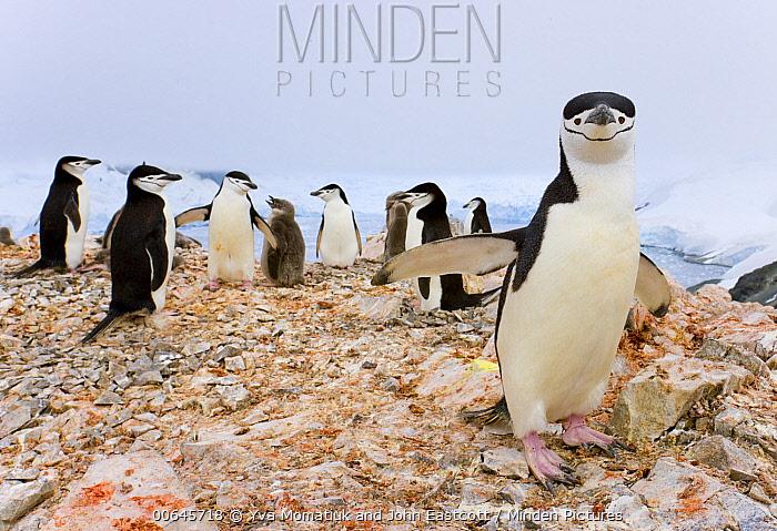 Chinstrap Penguin (Pygoscelis antarctica) rookery, Spigot Point, Antarctic Peninsula, Antarctica