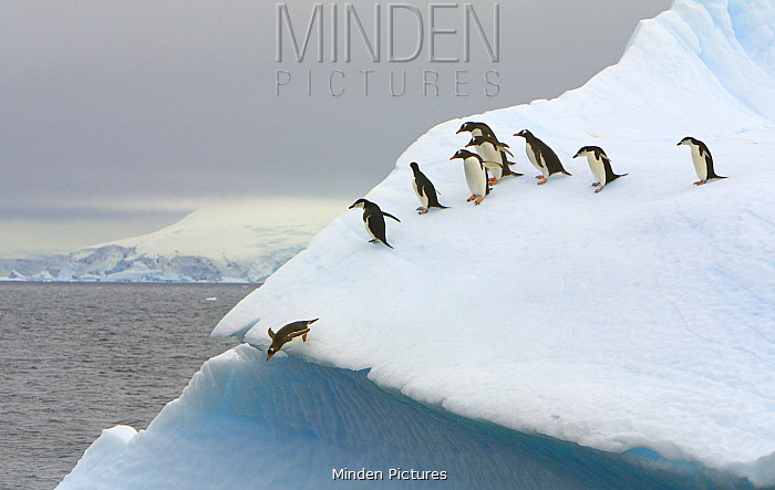 Gentoo Penguin (Pygoscelis papua) and Chinstrap Penguin (Pygoscelis antarctica) jumping off iceberg, Gerlache Passage, Antarctic Peninsula, Antarctica