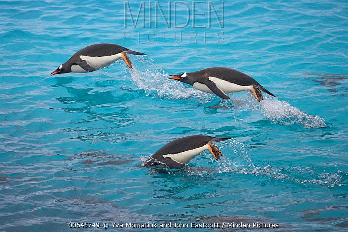 Gentoo Penguin (Pygoscelis papua) group porpoising, Booth Island, Antarctic Peninsula, Antarctica