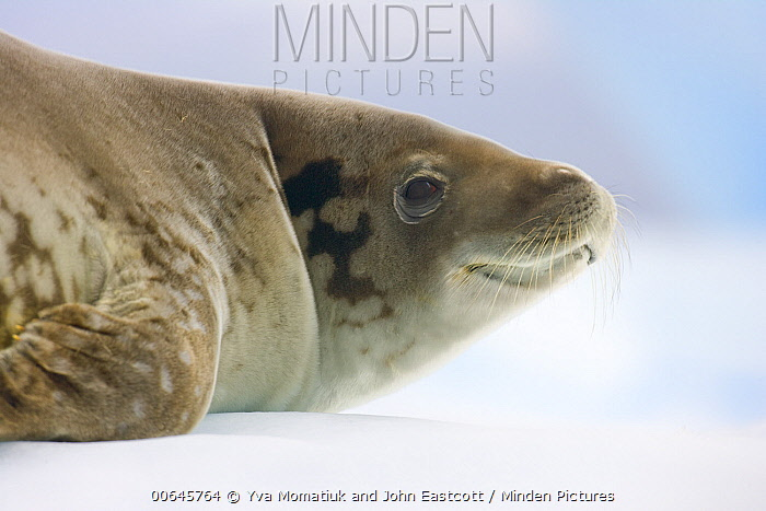 Leopard Seal (Hydrurga leptonyx), Cape Evensen, Antarctic Peninsula, Antarctica