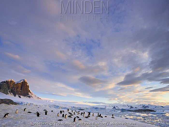 Adelie Penguin (Pygoscelis adeliae) group, Holtedahl Bay, Antarctic Peninsula, Antarctica
