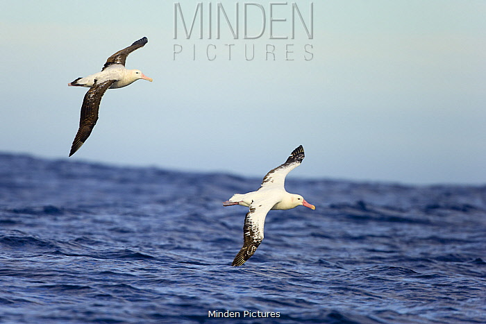 Wandering Albatross (Diomedea exulans) pair flying, Drake Passage, Antarctica