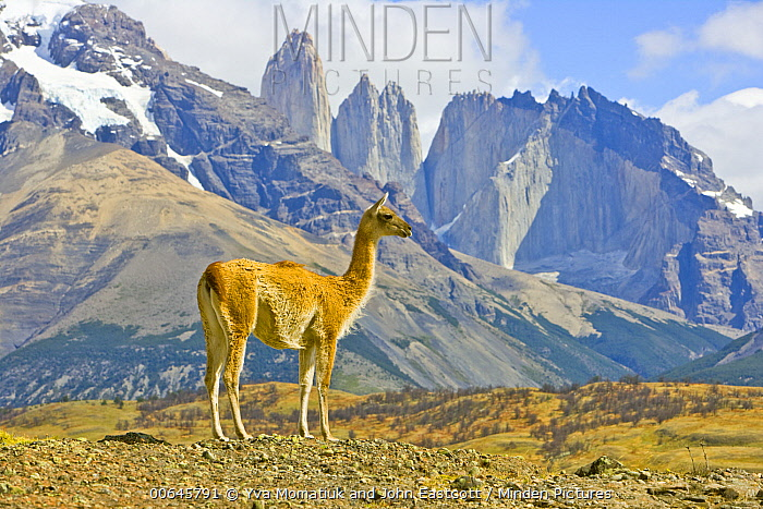 Guanaco (Lama guanicoe) and mountains, Torres del Paine National Park, Patagonia, Chile
