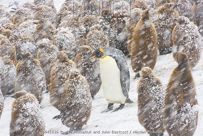 King Penguin (Aptenodytes patagonicus) chicks with one adult during snowfall, Salisbury Plain, South Georgia Island