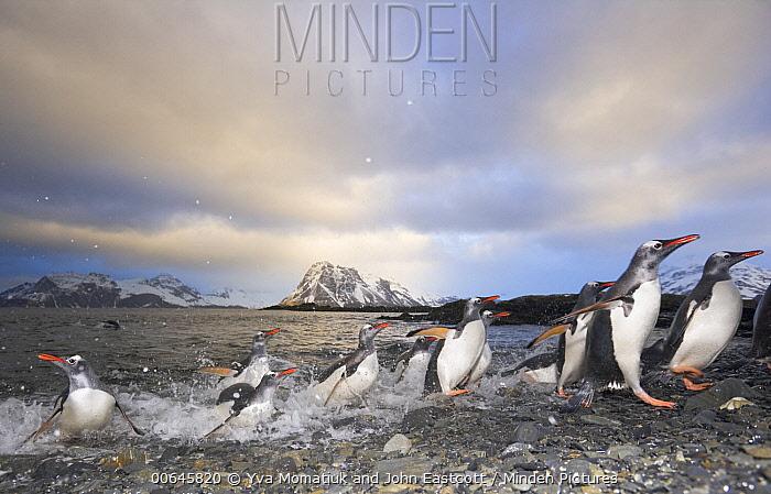 Gentoo Penguin (Pygoscelis papua) group coming ashore, Prion Island, South Georgia Island