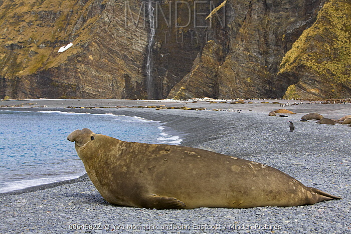 Southern Elephant Seal (Mirounga leonina) bull on beach waiting for females to come ashore with King Penguins (Aptenodytes patagonicus) in the background, Fortuna Bay, South Georgia Island