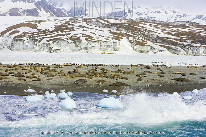 King Penguin (Aptenodytes patagonicus) group and Southern Elephant Seals (Mirounga leonina) on coast, St. Andrew's Bay, South Georgia Island