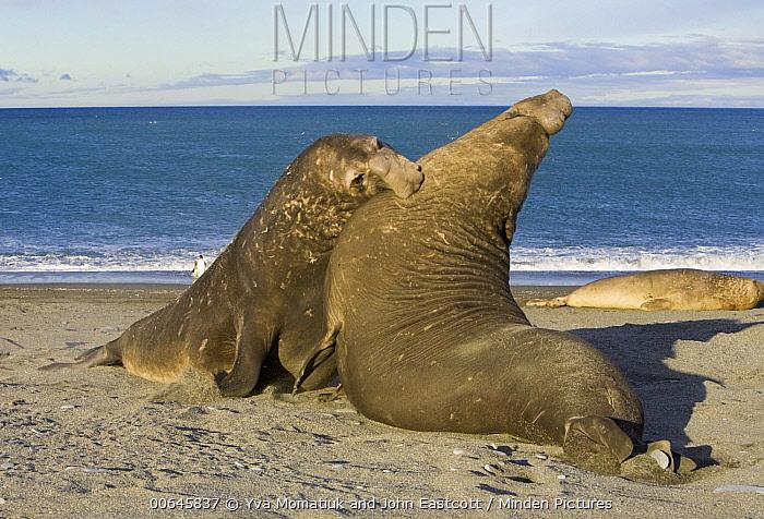 Southern Elephant Seal (Mirounga leonina) bulls fighting, St. Andrew's Bay, South Georgia Island