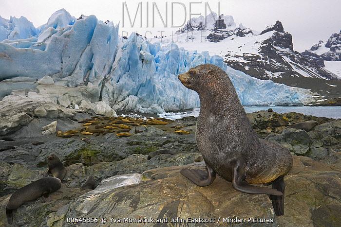 Antarctic Fur Seal (Arctocephalus gazella) group near Southern Elephant Seals (Mirounga leonina), Trollhul, South Georgia Island