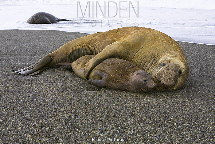Southern Elephant Seal (Mirounga leonina) pair mating, St. Andrew's Bay, South Georgia Island