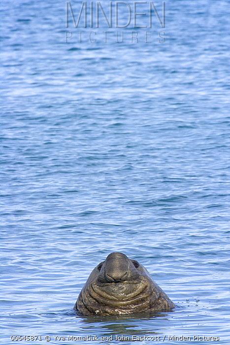 Southern Elephant Seal (Mirounga leonina) bull, Leith Harbor, South Georgia Island