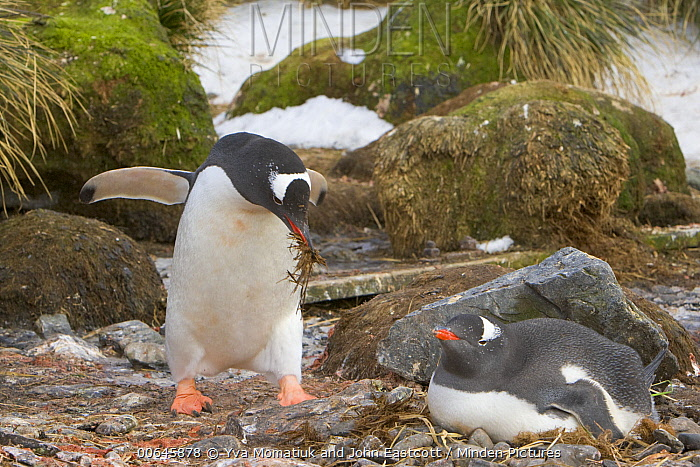 Gentoo Penguin (Pygoscelis papua) male carrying nesting material to incubating female, Prion Island, South Georgia Island