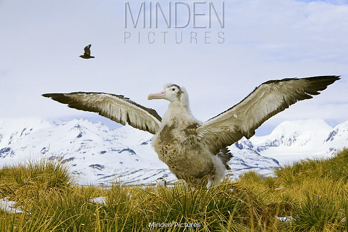 Wandering Albatross (Diomedea exulans) chick flapping, Prion Island, South Georgia Island